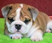 cute and adorable English bulldog puppies out for adoption