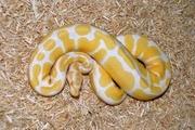 ball pythons for adoption