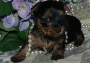 Tiny Toy Yorkie Puppies AKC & UKC registered.