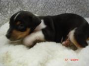 Registered Rat Terrier Puppies for Sale